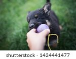 Stock photo cute black puppy bites into the ball puppy is playing with ball cute puppy bohemian shepherd 1424441477