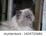 portrait of a shaggy cat with... | Shutterstock . vector #1424723684