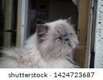 portrait of a shaggy cat with... | Shutterstock . vector #1424723687