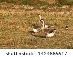 goose families are looking for...   Shutterstock . vector #1424886617