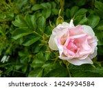 Stock photo rose hip flower close up view pink rose hip flower rose hip flower view white pink rose hip 1424934584