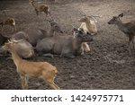 sika or sportted deer at the...   Shutterstock . vector #1424975771