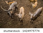 sika or sportted deer at the...   Shutterstock . vector #1424975774