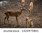 sika or sportted deer at the...   Shutterstock . vector #1424975801