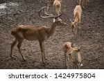 sika or sportted deer at the...   Shutterstock . vector #1424975804