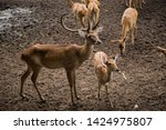 sika or sportted deer at the...   Shutterstock . vector #1424975807