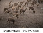 sika or sportted deer at the...   Shutterstock . vector #1424975831
