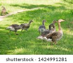 goose family at a lake   Shutterstock . vector #1424991281