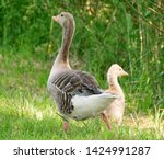 goose family at a lake   Shutterstock . vector #1424991287