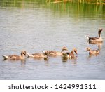 goose family at a lake   Shutterstock . vector #1424991311