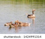 goose family at a lake   Shutterstock . vector #1424991314