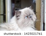 portrait of a shaggy cat with... | Shutterstock . vector #1425021761