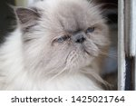 portrait of a shaggy cat with... | Shutterstock . vector #1425021764