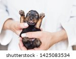 Stock photo newborn puppy in the hands of a veterinarian yorkshire terrier puppy 1425083534