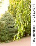 a branch of a willow tree with... | Shutterstock . vector #1425114344