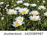 Blooming Hybrid Cultivar Shast...