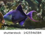 Red Toothed Triggerfish  Odonu...