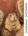 Prairie Dog Is Looking Curious  ...
