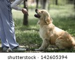 Stock photo golden retriever outdoor training process 142605394
