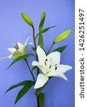 spring flower on blue background | Shutterstock . vector #1426251497
