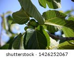 small figs and fresh leaves on... | Shutterstock . vector #1426252067