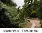 green branch of a tree. trees... | Shutterstock . vector #1426301507