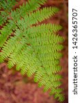 ferns growing in natural... | Shutterstock . vector #1426365707