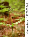 ferns growing in natural... | Shutterstock . vector #1426365761