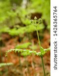 ferns growing in natural... | Shutterstock . vector #1426365764