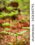 ferns growing in natural... | Shutterstock . vector #1426365791