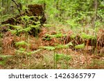 ferns growing in natural... | Shutterstock . vector #1426365797