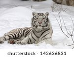 A Calm White Bengal Tiger ...