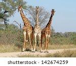 Three Giraffes Bathed In Soft...