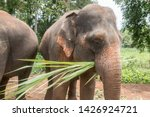 Happy Asian elephant feeding at an ethical elephant sanctuary in northern Thailand.