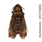 Small photo of Death's Head Hawkmoth (Europe), Acherontia atropos isolated on white