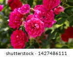 climbing rose in bloom close up ... | Shutterstock . vector #1427486111