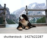 Large And Fluffy Bernese...