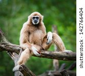 white cheeked gibbon or lar... | Shutterstock . vector #142766404