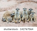 Suricate Or Meerkat Family