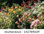 Stock photo roses in garden 142789639