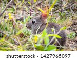 Stock photo close up of baby brush rabbit sitting still in the shrubs ticks attached to its long ears 1427965097