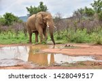 elephant coming for a drink... | Shutterstock . vector #1428049517