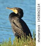 Great Cormorant In New Zealand