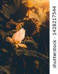beautiful lotus flower and... | Shutterstock . vector #1428217544