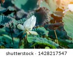 beautiful white lotus flower in ... | Shutterstock . vector #1428217547