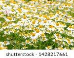 german camomile herb flower... | Shutterstock . vector #1428217661