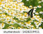 camomile herb field and green... | Shutterstock . vector #1428219911