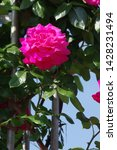 the name of this rose is ... | Shutterstock . vector #1428231494