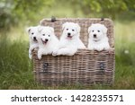 Stock photo cute white puppies in a basket berger blanc suisse puppies in a basket white shepherd puppies 1428235571
