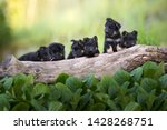 Stock photo adorable portrait of six cute bohemian shepherd puppies group on a tree trunk cute puppies 1428268751